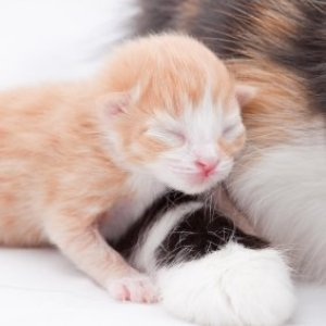 Newborn orange and white kitten.