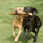 Tow Dogs Holding Stick Together