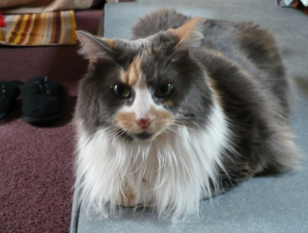 Long haired calico cat portrait