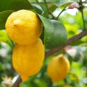 Lemons growing on a tree.