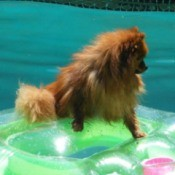 Redish Pomeranian on floating tube in swimming pool