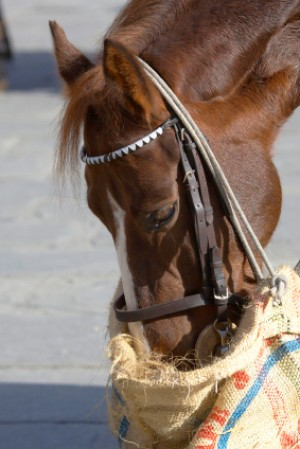 Horse Eating from Feed Bag