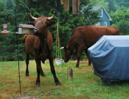 2 young bulls in yard