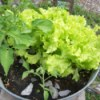 Closeup of tub garden wtih lettuce and tomato plant