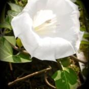 White Angel Trumpet Flower in Bloom