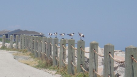 6 gulls lined up on beach fence