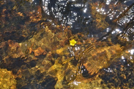 A yellow flower floating in a mountain stream in Wyoming.