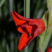 Water Droplets on Red Gladiolus