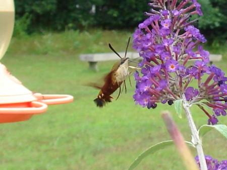 Hummingbird Moth by Purple Flower