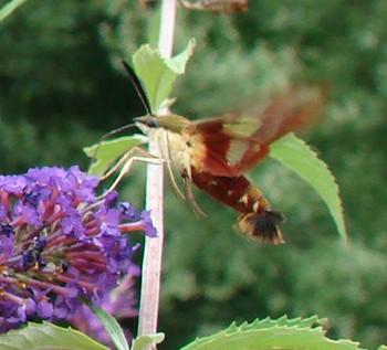 Closeup of Hummingbird Moth by a Purple Flower