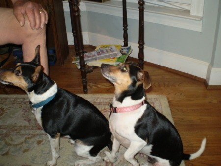 Two black, brown, and white dogs looking up at a person to the left outside the frame of the photo.