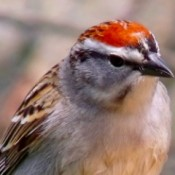 Closeup of Sparrow with Red Crest