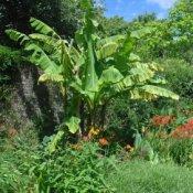 Banana tree in a garden.