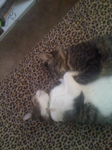 Closeup of Salt and Pepper Cats Sleeping on Leopard Print Blanket