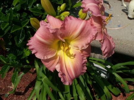 Closeup of Pink and Yellow Daylily