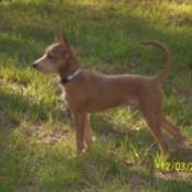Levi Logan Mini Pincher Terrier Standing in Grass