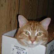 Orange Striped Cat in Box