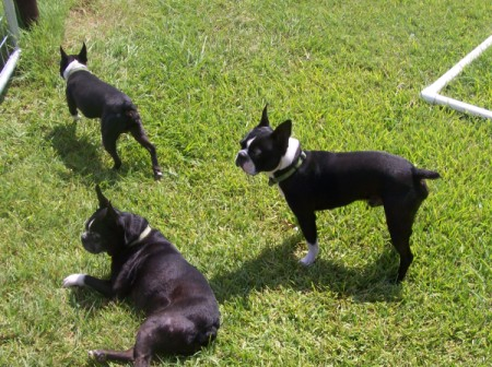 3 black and white Boston Terriers on the lawn