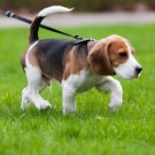 Young beagle walking on a leash.