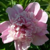 Closeup of Large Pink Peony in Bloom