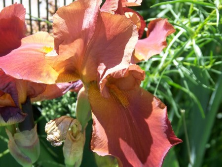 Closeup of Pink Iris in Garden