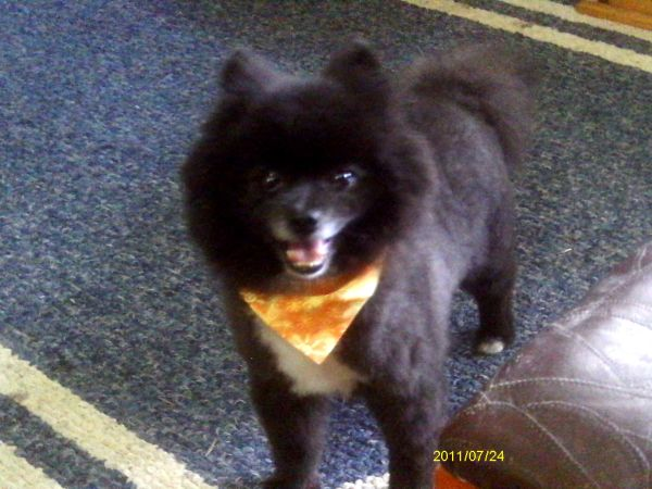Black Pomeranian on Blue Rug