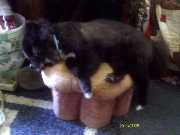 Black Pomeranian Sleeping on Stool