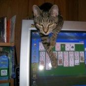 Tabby Cat Hanging Over Computer Screen