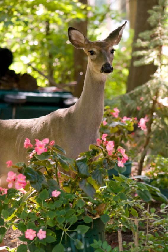 Keeping Deer Out Of Your Garden Doe In Suburban