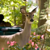 Keeping Deer Out of Your Garden, Doe in Suburban Garden