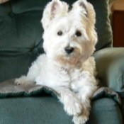 Small white dog on easy chair