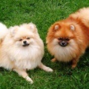 Two Pomeranians, one red and one white on the lawn.