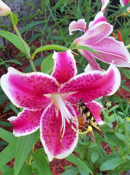 Pink and White Starfighter Lily with butterfly