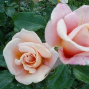 Dr. Brownell Tea Roses