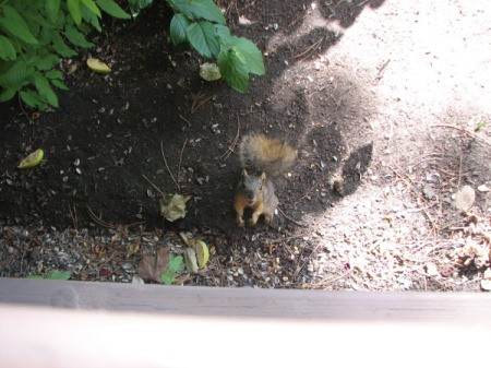 Squirrel Standing in Dirt Looking up at Window