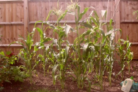 Several corn plants up against a wooden fence.