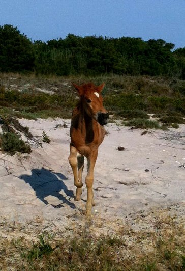 Baby pony running on the beach.