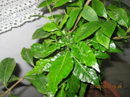 Ruffly looking gardenia leaves.