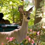 Deer in Suburban Garden