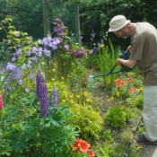 Man watering perennial bed with a watering can