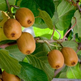 Kiwifruit growing on the vine.