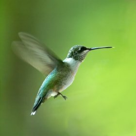 Hummingbird flying.