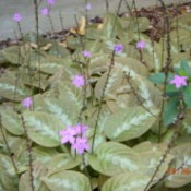 Lots of Purple Chocolate Soldiers With Green Variegated Leaves
