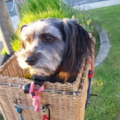 Suzie Peanut the dog in Basket on Back of Bike