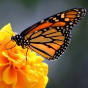 Monarch butterfly on orange flower.