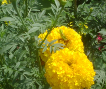 Two Large Yellow Marigolds