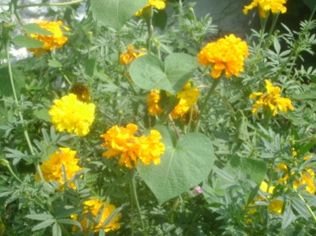 Group of Many Marigolds