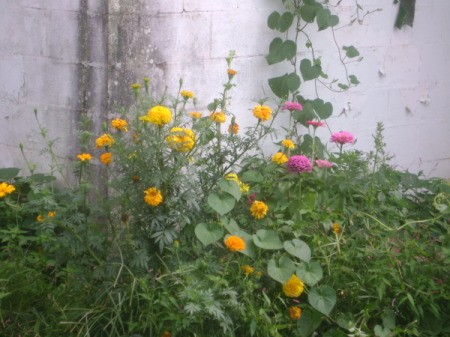 Marigolds and Zinnias Against Plain White Garden Wall