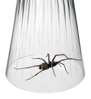 A spider trapped under a drinking glass.
