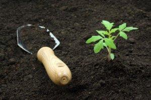 Hand shovel and tomato start in rich, black soil